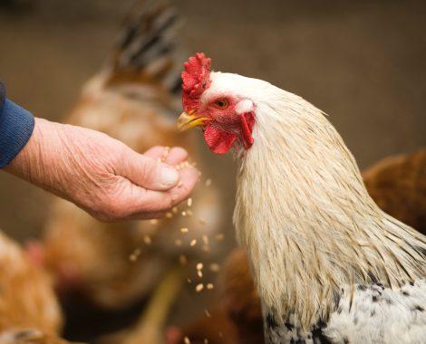 animal-chicken-cockerel-375510